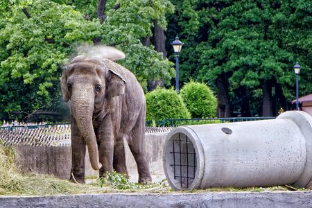 A big elephant is standing on his feet and watering water on his head. An animal at the zoo. Summers day Banco de Imagens
