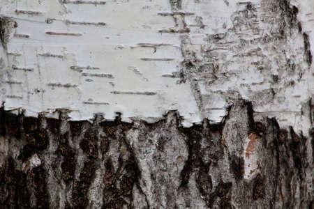 birch bark: birch bark