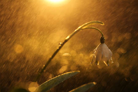 dreamy: Dreamy photo of a snowdrops after rain in the forest