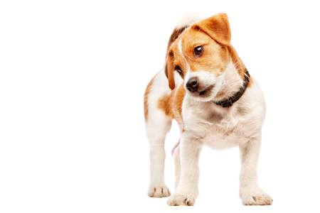 Jack russell terrier puppy portrait. Image taken in a studio.