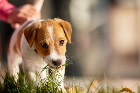 beagle terrier: Dog breed Jack Russell Terrier playing in autumn park. Stock Photo