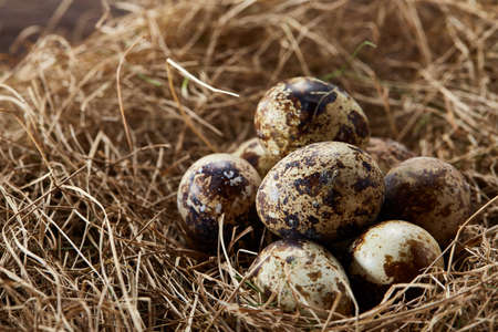 Conceptual still-life with fresh raw spotted quail eggs in hay nest, close up, selective focus. Decorative rural fragile composition. Cozy arrangement. Holiday pattern. Healthy eating. Easter background. Healthy food concept.