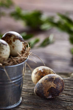 Spring composition of fresh quail eggs in decorative metal bucket with some hay and boxwood branches on rustic wooden background, selective focus, close-up. Beautiful rural still life. Healthy dieting concept.