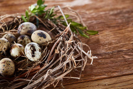 Nest made of willow branches full of fresh spotted quail eggs with boxwood branches on the rustic dark brown background, top view, close-up, selective focus. Decorative rural composition. Healthy eating. Easter background. Healthy food concept.