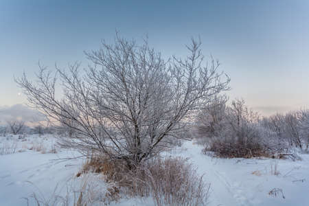 intensely: Frosty morning of January, winter dawn, the Trees in the snow with frost