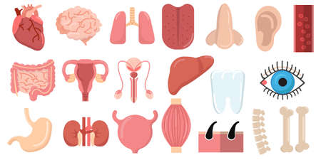 Human organs set with brain heart lungs stomach bowels kidneys tongue nose ear eye spine elements collection, flat icons set, Colorful symbols pack contains. Vector illustration. Flat style design