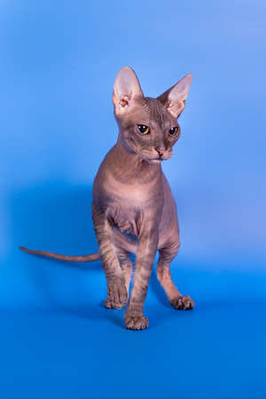 sphinx: The Sphinx cat on a blue background