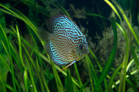 discus fish: Discus - tropical fish