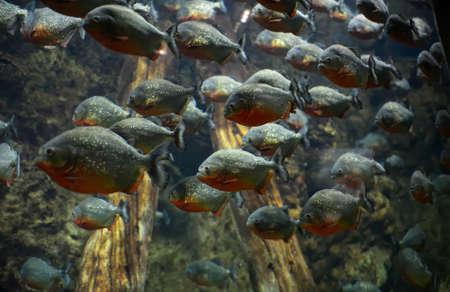 flock: Flock of piranhas
