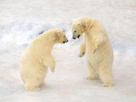 cachorro: Los osos polares Cub est�n uno frente al otro Foto de archivo