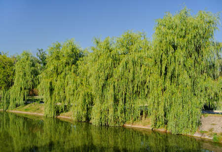 babylonian: Willow Babylonian (weeping) on the lake Stock Photo