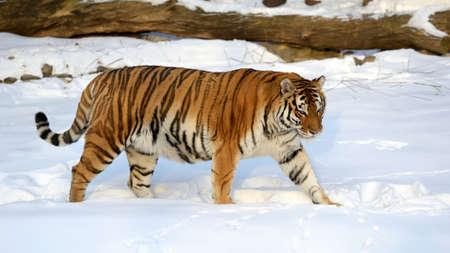ussuri: Ussuri tiger goes on snow-covered trail