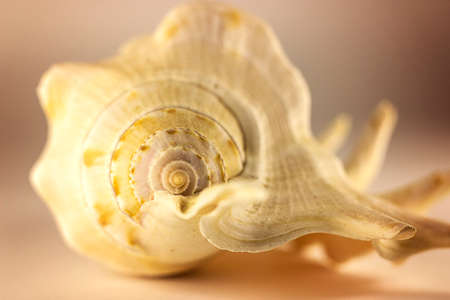 Beautiful beige sea shell on the white background. Artistic photography. Selective focus. Macro Foto de archivo