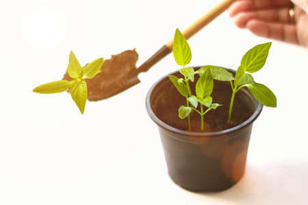 Gardening Spring or Summer Concept. A sequence of seedlings growing progressively taller, against a white background. Pumpkin seedlings are growing from the soil and there is a morning shining