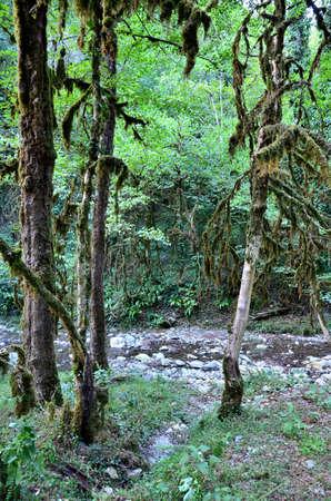 Кавказский лес на берегу реки Bezuminka. Сочи, Россия Фото со стока
