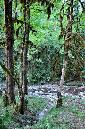Caucasian forest on the banks of the river Bezuminka. Sochi, Russia