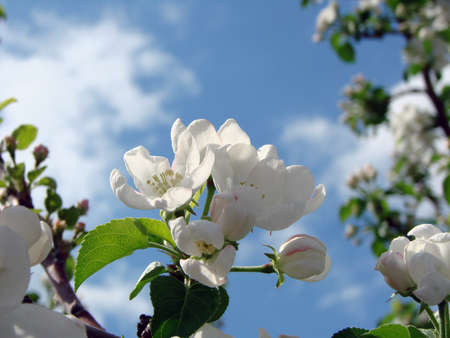 Apple flower, Omsk region, Siberia, Rossia