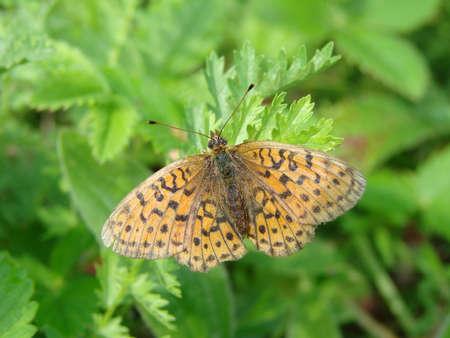 Butterfly, Omsk region, Siberia, Russia Фото со стока - 101725189