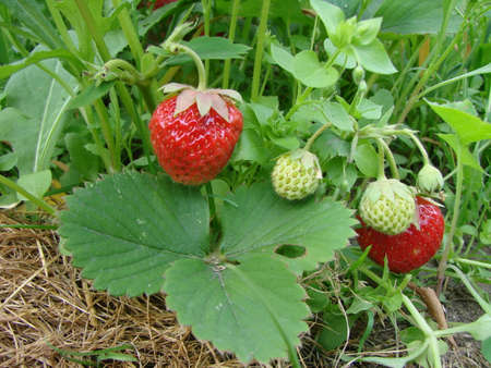 Strawberry, Omsk region, Siberia, Russia Фото со стока - 103762322