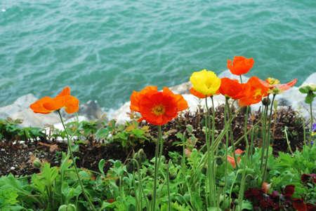 Poppy Flowers in Montreux park, Switzerland