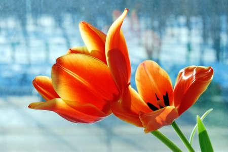 Tulip Flowers, Omsk region, Siberia, Russia