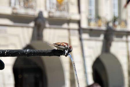 Sparrow Bird drinking from a street fountain, Switzerland. Фото со стока