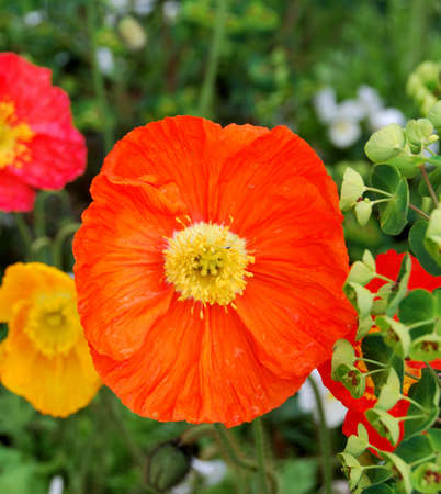 Poppy Flowers in Montreux park, Switzerland