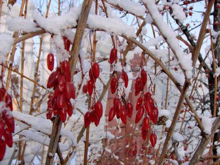 Grapes dogwood winter. Omsk region, Siberia, Russia Фото со стока - 109432841