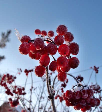 Berries Viburnum, Omsk region, Siberia, Russia