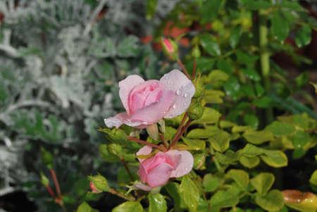 Rose with drop of rain. Omsk region, Siberia, Russia Фото со стока