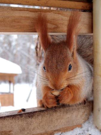 Squirrel, Omsk region, Siberia, Russia Фото со стока