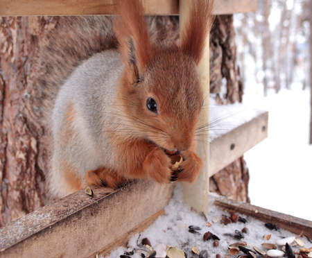 Squirrel, Omsk region, Siberia, Russia 版權商用圖片