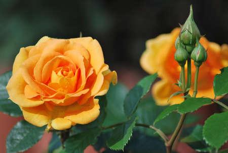 Rose Goldelse with drop of rain. Omsk region, Siberia, Russia