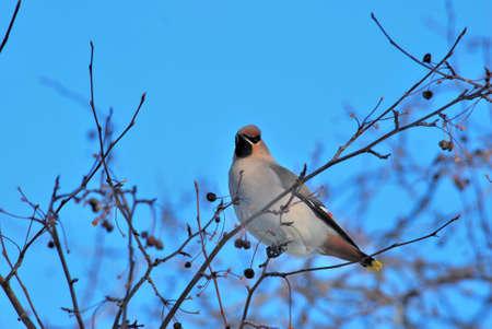 Bird waxwing bulletin spring is coming, Omsk, Russia, Siberia