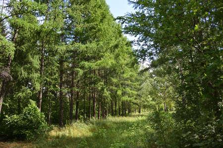 Summer Siberian forest, Omsk region