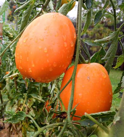 Tomatoes, Omsk region, Siberia, Russia Фото со стока
