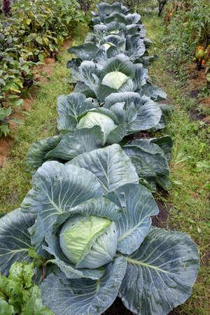 Cabbage in the garden, Omsk region, Siberia, Russia Фото со стока