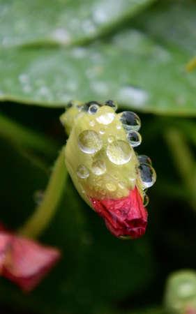 Nasturtium bud with drop of rain. Omsk region, Siberia, Russia