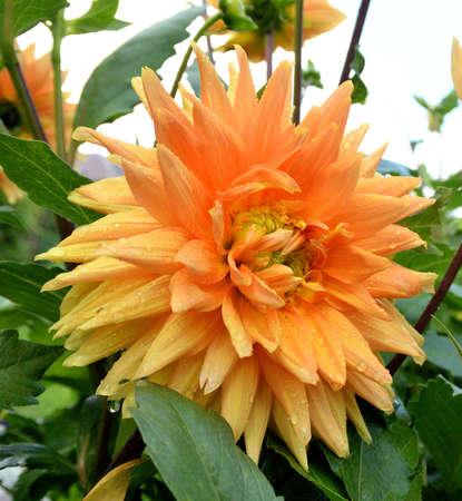 Flower Georgina, Omsk region, Siberia, Russia