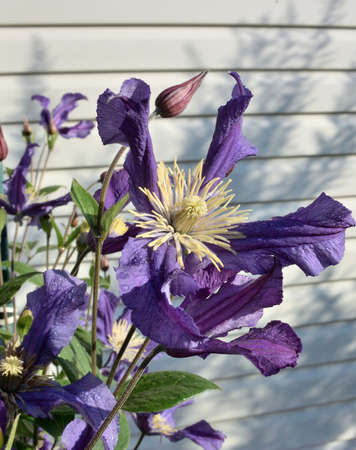 Clematis flower with lilac petals, Siberia, Omsk region, Russia