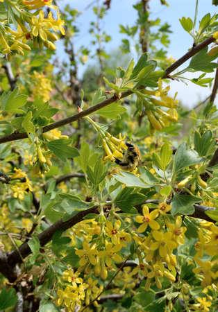 Flowering Currant Golden, Omsk region, Siberia