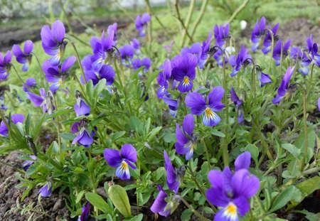 Violet flowers, Siberia Omsk region may 2016