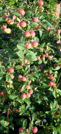 Apple tree, Omsk region, Siberia, Russia