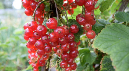 Red currant, Omsk, Western Siberia, Russia