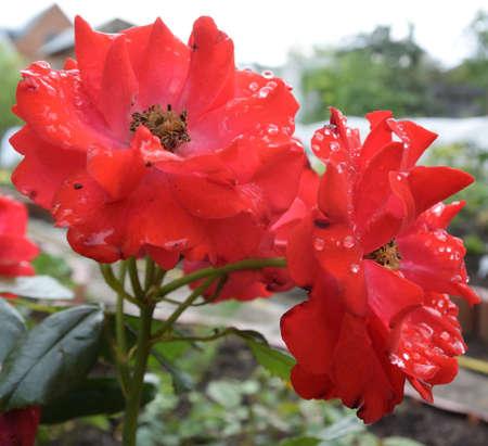 Flower with drop of rain. Omsk region, Siberia, Russia Фото со стока