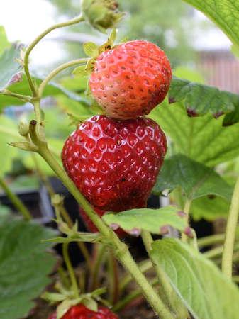 Strawberry, Omsk region, Siberia, Russia