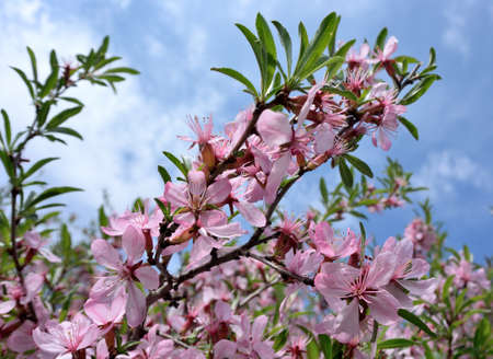Picture of almond blossom close-up, Omsk region, Siberia