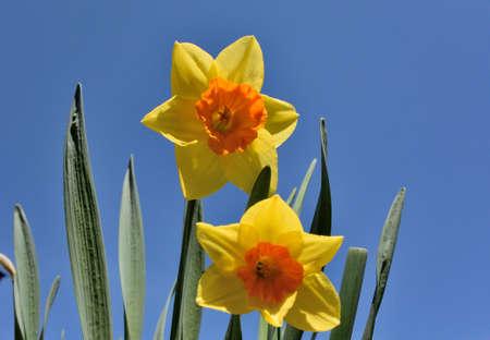 Spring flower Narcissus, Omsk region, Russia, Siberia
