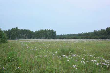 Summer Siberian forest, Omsk region Фото со стока