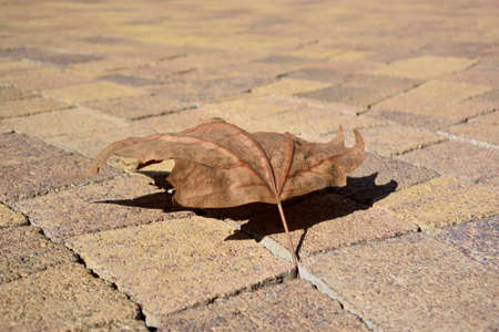 Sycamore leaf on the pavement in Sochi, Russia